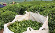 ردیف خرید تضمینی برگ سبز چای از بودجه ۹۸ حذف نشده است