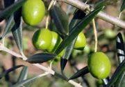 باغات زیتون قدیمی گیلان اقتصادی میشوند