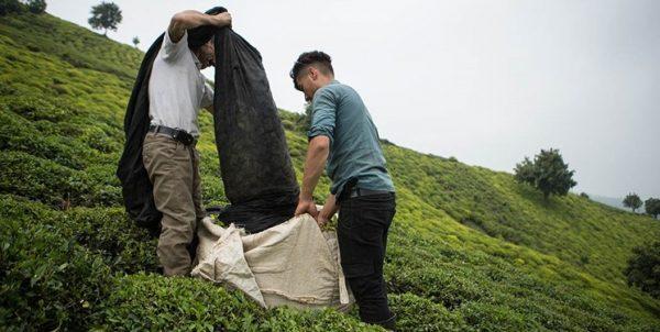 انتقاد نماینده مجلس از تخصیص مجدد ارز دولتی به چای