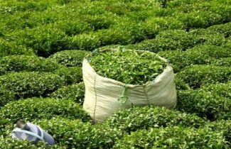 لزوم افزایش قیمت برگ سبز چای متناسب با رشد تورم در کشور/ برداشت برای چایکاران به صرفه نیست