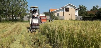 برداشت محصول برنج از ۵۵ درصد شالیزارهای گیلان