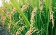 افزایش صد هزار تنی تولید شلتوک در گیلان