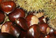 برداشت 30تن میوه شاه بلوط در گیلان