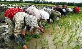 کشت مجدد برنج را توصیه نمیکنیم