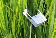 مبارزه بیولوژیک در بیش از ۲۰۰۰ هکتار از شالیزارهای گیلان آغاز شد