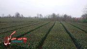 تصاویری از باغات چای و ادوات برداشت برگ سبز در شهرستان فومن