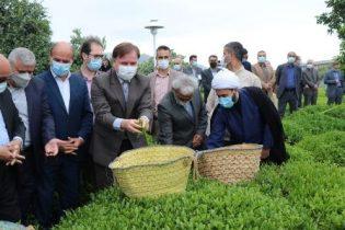 دم کشیدن صدای سکوت لاهیجان به برگزاری آئین آغاز برداشت برگ سبز چای در کومله؟؟؟